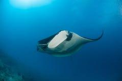 Un beau manta glissant au-dessus d'un récif Photographie stock