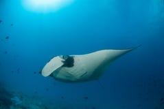 Un beau manta glissant au-dessus d'un récif Photos stock