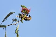Un beau nectar d'entrée de sunbird de chasseurs photo libre de droits