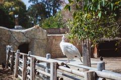 Un beau paon de Leucistic montrant son plumage blanc image stock