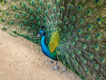 Un beau paon en gros plan écarte ses queue-plumes dans le temps de jardin au cours de la journée Image stock