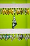 Le papillon émerge de la chrysalide Photo stock