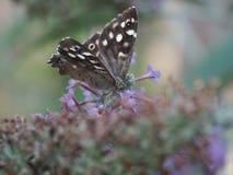 Un beau papillon néerlandais Image libre de droits