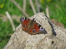 Un beau papillon se trouvant sur la roche image stock