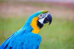 Un beau perroquet avec le plumage bleu lumineux sur la La de fond images libres de droits