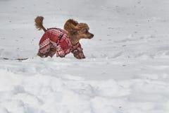 Un beau petit chien de caniche miniature rouge en rouge avec la salopette d'impression blanc et avec le harnais rose est dans la  photographie stock libre de droits