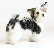 chien mélangé à cheveux longs, 16 semaines, maltais et Yorkie Photographie stock