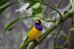 Un beau petit oiseau australien avec une tête rouge et un plumage coloré se repose sur une branche verte dans son habitat image libre de droits