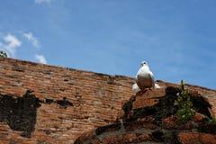 Un beau pigeon blanc Photographie stock libre de droits