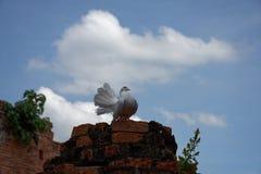 Un beau pigeon blanc sur ruiné Photos libres de droits