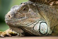 un beau portrait d'iguane Photo stock