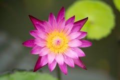 Un beau rose waterlily ou fleur de lotus photos libres de droits