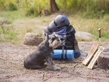 Un beau schnauzer miniature se trouve près d'un feu préparé Voyage d'été à la nature avec un chien Voyage d'été Images libres de droits