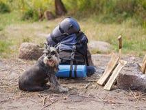 Un beau schnauzer miniature se trouve près d'un feu préparé Voyage d'été à la nature avec un chien Voyage d'été Photographie stock