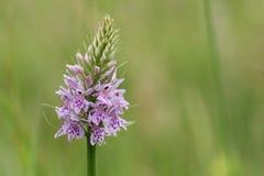 Un beau terrain communal a repéré la fleur de fuchsii de Dactylorhiza d'orchidée Photos stock