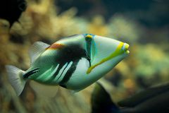 Un beau triggerfish coloré de Picasso dans un réservoir de récif photos stock