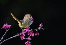 Un beau vol d'oiseau sur la fleur rose, ouverte c'est des ailes à l'arrière-plan noir images stock