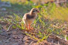 Un bebé de la pérdida del polluelo la manera y la llamada para la mama Fotografía de archivo