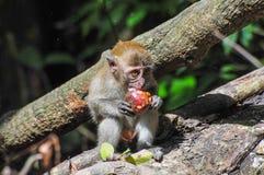 Un bebé del mono del maqaque de Sumatran que come una fruta Foto de archivo libre de regalías