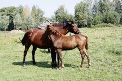 Un bebé y caballos del adulto en el dgassland Fotografía de archivo libre de regalías