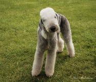 Un bedlington terrier Immagini Stock