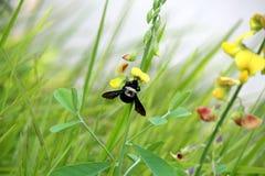 Un beette suçant le nectar d'une fleur photographie stock libre de droits