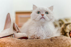 Un beige perdido del gato Foto de archivo libre de regalías