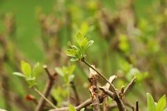 Un bel élevage de petites feuilles sur l'arbre Photographie stock libre de droits