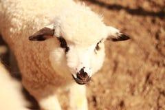 Un bel agneau le recherchant est troupeau photo libre de droits