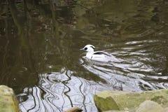 Un bel albellus de Mergus flottant en rivière en parc image stock