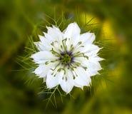Un bel amour blanc simple dans le damascena de brume ou de nigella Images stock