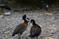 Un bel amour d'oiseaux Photographie stock