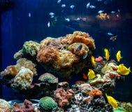 Un bel aquarium avec des coraux et pêcher la saveur jaune zebrasome jaune photo libre de droits