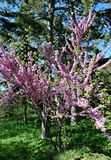 Un bel arbre a fleuri dans le jardin, ressort image stock