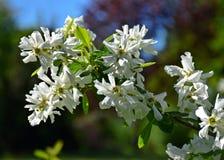 Un bel arbre a fleuri dans le jardin, ressort photographie stock