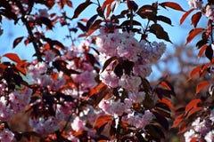 Un bel arbre a fleuri dans le jardin, ressort photographie stock libre de droits