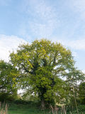 Un bel arbre mûr frais avec le vert part de l'élevage de beauté de nature Images stock