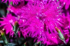 Un bel oeillet rose image stock