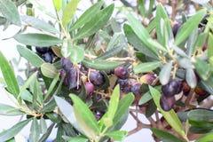 Un bel olivier se développe en Grèce Photographie stock