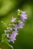 Un bellflower azul hermoso que florece en un bosque Imágenes de archivo libres de regalías