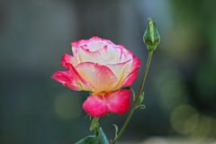 Un bello è aumentato nella natura fotografia stock