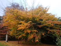 Un bello albero nei colori autunnali fotografia stock libera da diritti