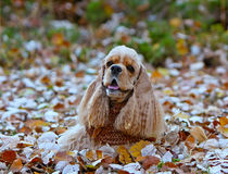 Un bello americano cocker spaniel si trova sulle foglie di autunno Fotografia Stock