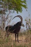 Un bello antilope del nero che cammina nel cespuglio fotografia stock libera da diritti