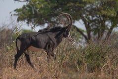 Un bello antilope del nero che cammina nel cespuglio immagini stock
