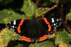Un bello atalanta di ammiraglio rosso Butterfly Vanessa si è appollaiato su una foglia con le ali aperte Fotografia Stock