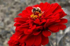 Un bello bombo si siede su un fiore rosso della zinnia intorno ad una d immagini stock libere da diritti