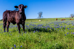 Un bello campo con i Bluebonnets e Angus Cow nero Fotografia Stock