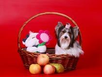 Un bello cane bianco si siede in un canestro con un giocattolo e una frutta Fotografia Stock Libera da Diritti