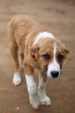 Un bello cane del Russo di sorriso Immagini Stock